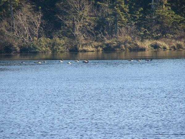 Canadien-Geese-Loomis-Lake2