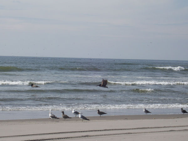 Pelicans-and-seagulls-on-the-beach